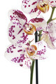 Moth Orchids - PhotoDune Item for Sale