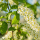 Sun Shines Through Flowers Of Bird Cherry Tree - VideoHive Item for Sale