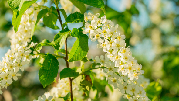 Sun Shines Through Flowers Of Bird Cherry Tree