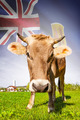 Cow with flag on background series - Turks and Caicos Islands - PhotoDune Item for Sale