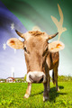 Cow with flag on background series - Christmas Island - PhotoDune Item for Sale