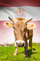 Cow with flag on background series - French Polynesia - PhotoDune Item for Sale