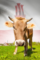 Cow with flag on background series - Gibraltar - PhotoDune Item for Sale