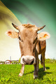 Cow with flag on background series - French Guiana - PhotoDune Item for Sale