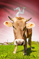 Cow with flag on background series - Isle of Man - PhotoDune Item for Sale