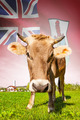 Cow with flag on background series - Bermuda - PhotoDune Item for Sale