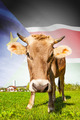 Cow with flag on background series - South Sudan - PhotoDune Item for Sale