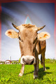 Cow with flag on background series - Guam - PhotoDune Item for Sale