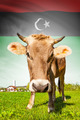 Cow with flag on background series - Libya - PhotoDune Item for Sale