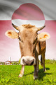 Cow with flag on background series - Greenland - PhotoDune Item for Sale