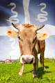 Cow with flag on background series - Martinique - PhotoDune Item for Sale