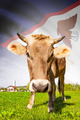 Cow with flag on background series - American Samoa - PhotoDune Item for Sale