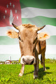 Cow with flag on background series - Abkhazia - PhotoDune Item for Sale