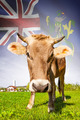 Cow with flag on background series - Pitcairn Group of Islands - PhotoDune Item for Sale