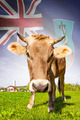 Cow with flag on background series - Montserrat - PhotoDune Item for Sale