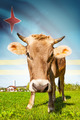 Cow with flag on background series - Aruba - PhotoDune Item for Sale