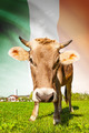Cow with flag on background series - Ireland - PhotoDune Item for Sale