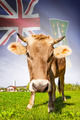 Cow with flag on background series - British Virgin Islands - PhotoDune Item for Sale