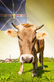 Cow with flag on background series - Niue - PhotoDune Item for Sale