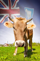 Cow with flag on background series - Falkland Islands - PhotoDune Item for Sale