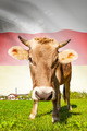 Cow with flag on background series - South Ossetia - PhotoDune Item for Sale