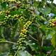 coffee  tree - PhotoDune Item for Sale