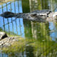 Crocodile in Zoo - VideoHive Item for Sale