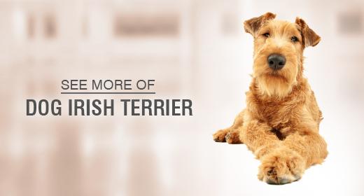 Dog Irish Terrier