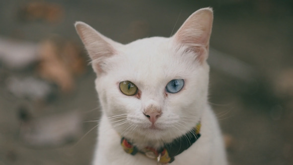 White Cat With 2 Color Eyes