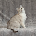 Amazing Burmilla in front of silver blanket - PhotoDune Item for Sale