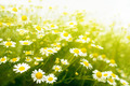 Chamomile flowers on meadow with sunlight - PhotoDune Item for Sale