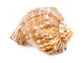 Marine Sea Shell Isolated - PhotoDune Item for Sale