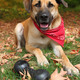 Large mixed breed dog in Autumn - PhotoDune Item for Sale