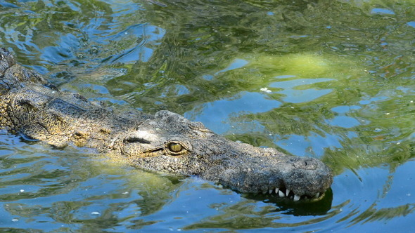 Crocodile or Alligator Swimming in the Water