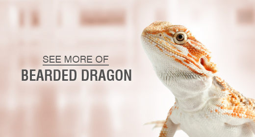 Lizard Bearded Dragon
