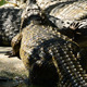 Crocodile Out of the River - VideoHive Item for Sale