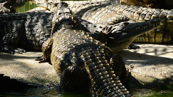 Crocodile Out of the River