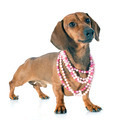 dachshund doga and collar - PhotoDune Item for Sale