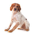 brittany spaniel - PhotoDune Item for Sale