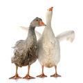 gooses - PhotoDune Item for Sale