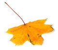 Yellow autumn maple-leaf on white background - PhotoDune Item for Sale