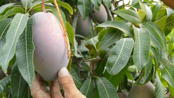 Collecting Mango Fruit Manually