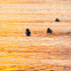 Ducks on the Water at Sunset - VideoHive Item for Sale
