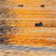 Ducks on the Waves at Sunset - VideoHive Item for Sale