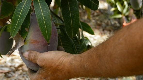 Collecting Mango Fruit