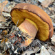 boletus fragrans - PhotoDune Item for Sale