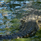 Crocodile in the Water of the River - VideoHive Item for Sale