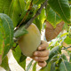 Worker Collecting Mango Fruit - VideoHive Item for Sale