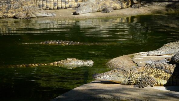 Crocodiles in Park