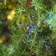 Juniper berries - PhotoDune Item for Sale
